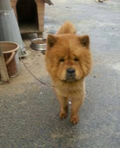 Abandoned Chow Chow